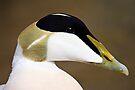 Male Eider Duck Portrait - Somateria mollissima by David Lewins