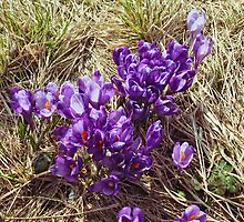 Bunch Of Crocus Flowers by Oleksii Rybakov
