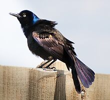 Common Grackle (adult male) - iridescent plumage by Joy Leong-Danen