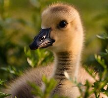 Canada Goose - Gosling up close by Joy Leong-Danen
