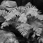 Ferns in Black and White by vvfineartphotog