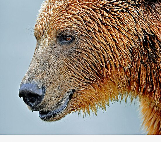 The great grizzly by Alan Mattison