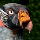 King Vulture-Great Plains Zoo by hastypudding