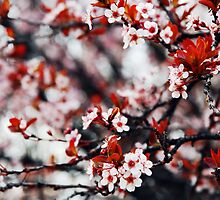 Cherry Blossoms by Sam Scholes