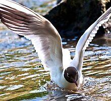 Black-headed gull (Chroicocephalus ridibundus) by Wizi-Top