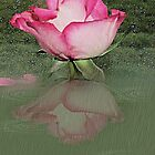 Rose reflection by Ann Persse