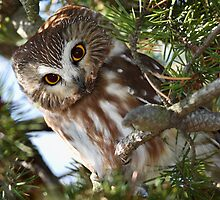 Curious Little Owl / Northern Sawhet Owl by Gary Fairhead