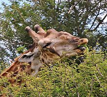 Dinner Partners - giraffe and oxpecker by KAREN SCHMIDT