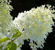 white hydrangea blossom by domimage