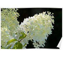white hydrangea blossom Poster