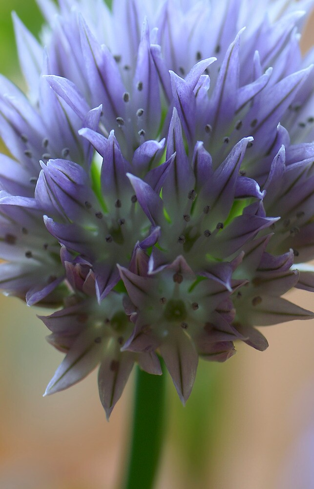 Chives flower by walstraasart