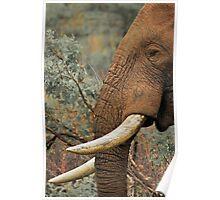 Elephant bull Poster