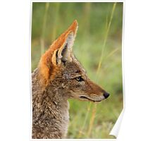 Black-backed jackal, South Africa Poster