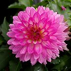 Pink and White Dahlia by James Formo