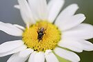 The Fly and Flower by missmoneypenny
