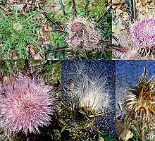 Life Cycle of a Thistle Plant by wolfepaw