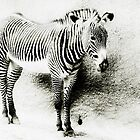 Zebra by zzsuzsa