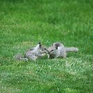 Baby California ground squirrel (gray diggers) by SKNickel