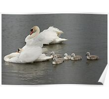 Swans and Cygnets Poster