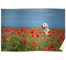 Labrador in Poppies Poster