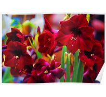 Crimson Amaryllis. Amsterdam Flower Market Poster