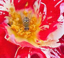 Rose and Hoverfly by Jacky Parker