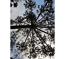 Cowparsley Silhouette Photographic Print