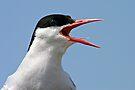 Arctic Tern, Portrait - Sterna paradisaea by David Lewins