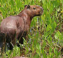 Wet capybara by Anthony Brewer