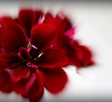 red ivy geranium by Joy Grassman