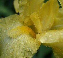 yellow iris by Joy Grassman