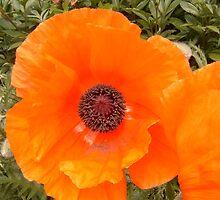 orange poppy by Joy Grassman
