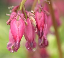 Bleeding Hearts by Debbie  Roberts