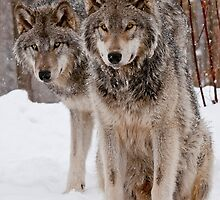 Timber Wolves by WolvesOnly