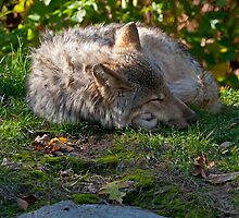 Sleeping Timber Wolf by WolvesOnly