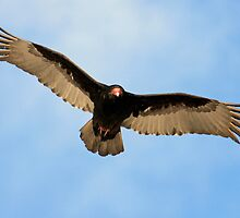Turkey Vulture by Debbie  Roberts