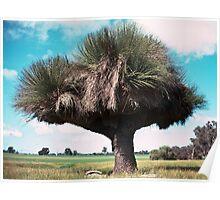 Cattle pruned grass tree Boyup Brook 19820826 0013 Poster