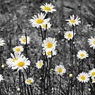 Daisies by Jeff Ore