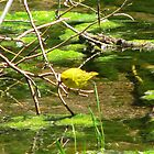 Yellow Warbler by Sherry Pundt