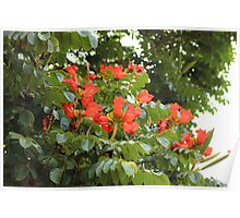 Red Flower Blossoms on a Tree Poster