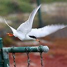 Flight of the Tern by CarolM