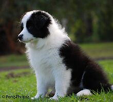 8 week old Border Collie by Penny Brooks