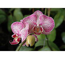 dendrobium orchid Photographic Print