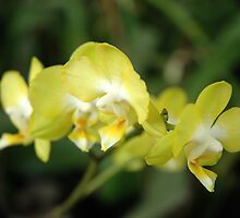 dendrobium orchid by bayu harsa