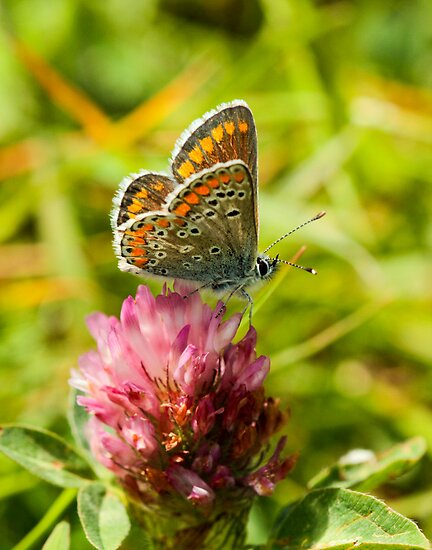 Brown Argus Butterfly by Robert Abraham