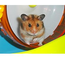 Barney,  the Hamster Photographic Print