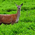 Female Fallow Deer in Bradgate Country Park by Rod Johnson