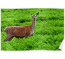Female Fallow Deer in Bradgate Country Park Poster