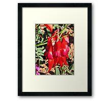 Sturt's Red Desert Pea - Exmouth, WA Framed Print