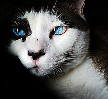 Siamese Cat by Edmond  Hogge